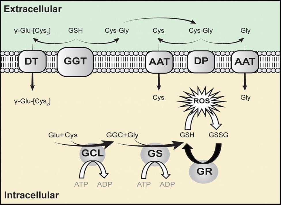 Glutathione Synthase